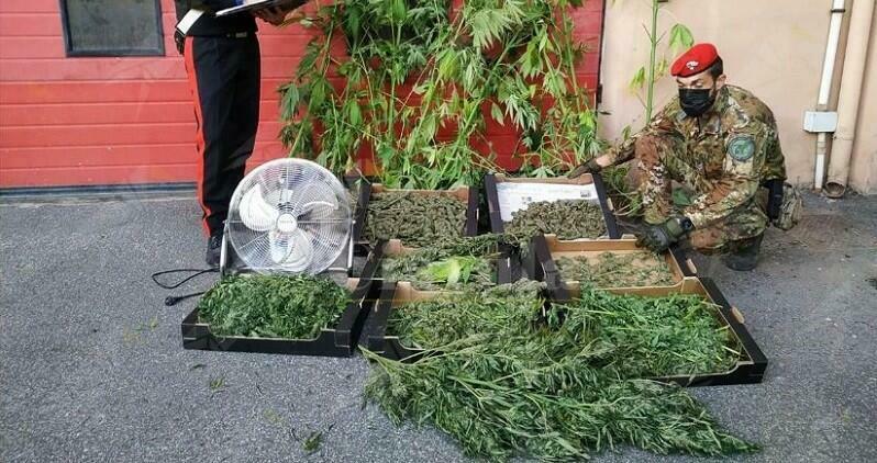 Coltiva marijuana tra i pomodori, arrestato agricoltore